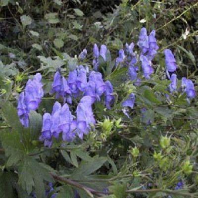 Aconitum japonicum