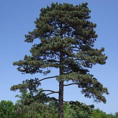 Abies nigra