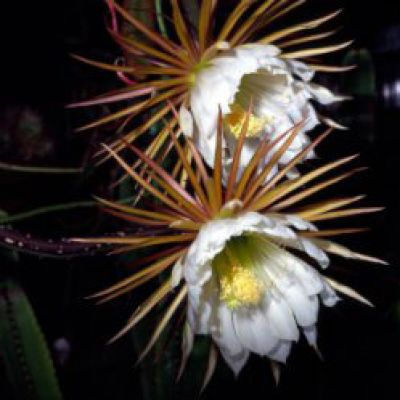 Cereus bonplandii