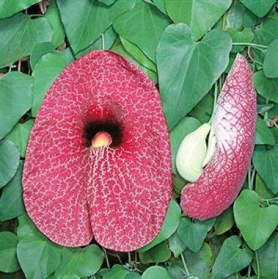 Aristolochia milhomens
