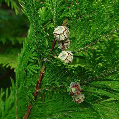 Cupressus lawsoniana