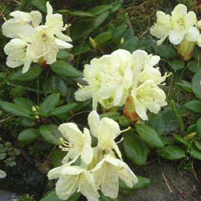 Rhododendron chrysanthum