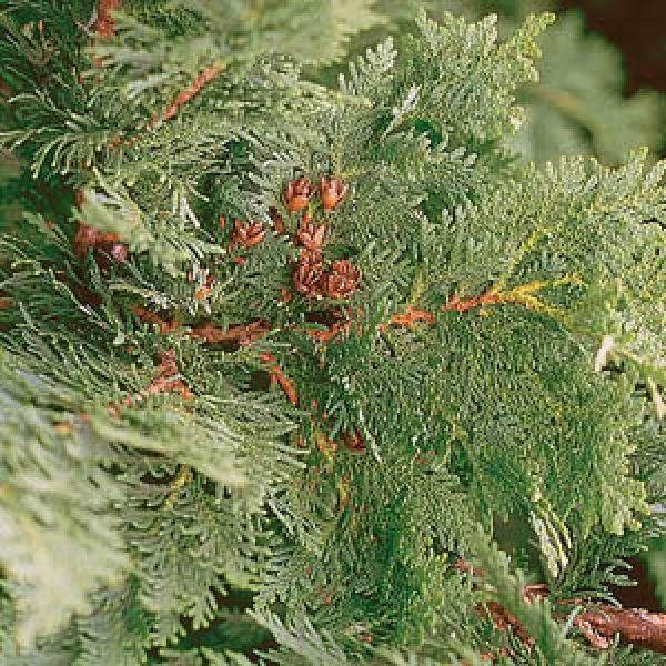 Thuja (Arbor vitae)