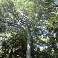 Ceiba Pentandra