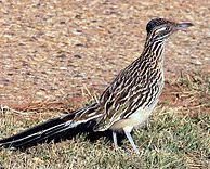 Geococcyx californianus