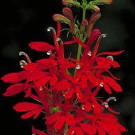 Lobelia Cardinalis