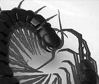 Mukade (Japanese centipede)