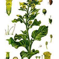 Nicotiana Rustica