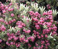 Styphelia tameiameiae