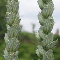 Triticum Vulgare